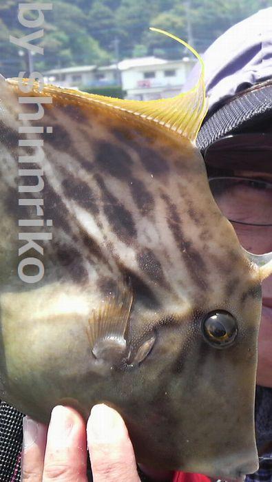 中サイズカワハギ、shinnriko最近太り気味