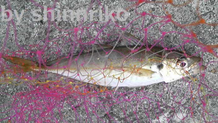 shinnrikoの釣った大きなアジ