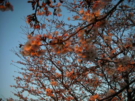 sakura1_convert_20110405220718.jpg