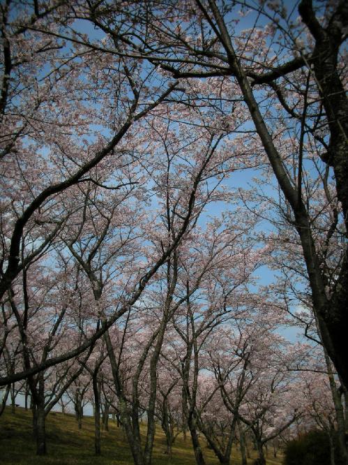 sakura2_20110409170525.jpg