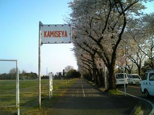 海軍道路の桜1-004