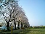 海軍道路の桜1-006