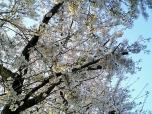 海軍道路の桜1-009