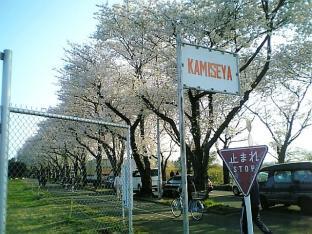 海軍道路の桜2-001
