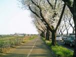 海軍道路の桜2-002