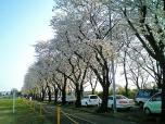 海軍道路の桜2-003