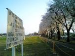 海軍道路の桜2-004