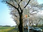 海軍道路の桜2-005