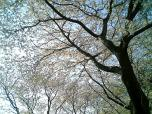 海軍道路の桜2-006