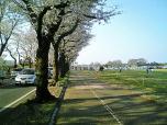 海軍道路の桜2-008
