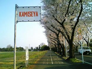 海軍道路の桜3-001