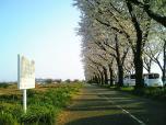 海軍道路の桜3-002