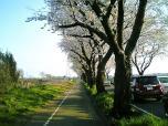 海軍道路の桜3-003