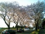 海軍道路の桜3-004