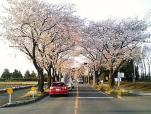 海軍道路の桜3-005