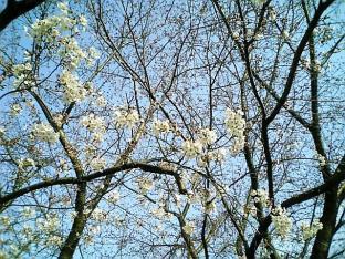 日米親善桜祭りチーズバーガー①011