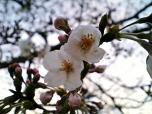 日米親善桜祭りホットドック②002