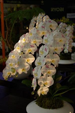 胡蝶蘭の彩色