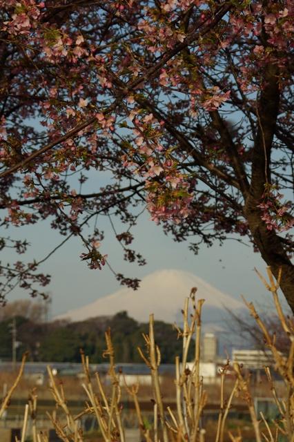富士山と河津桜