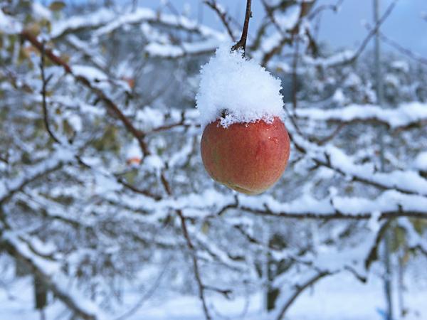 冬 りんご
