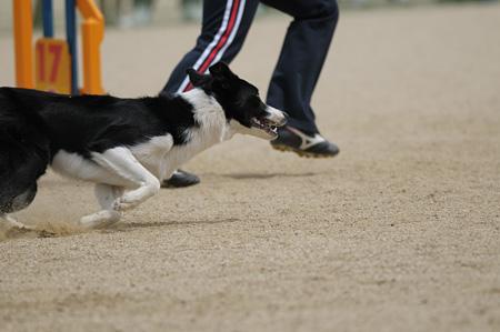 犬もハンドラーも腕を試されるポイントなのです