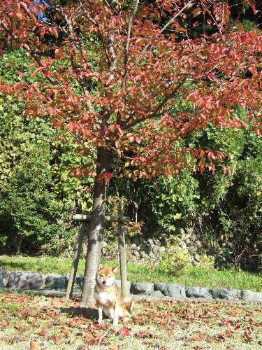 桜の葉っぱも色づきました