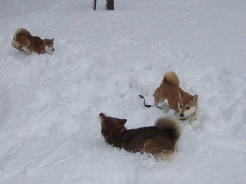 雪を泳ぐ3柴わん