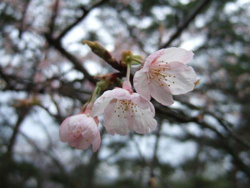 なんていう桜かな?