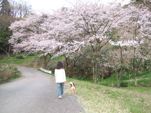 桜舞い散る中