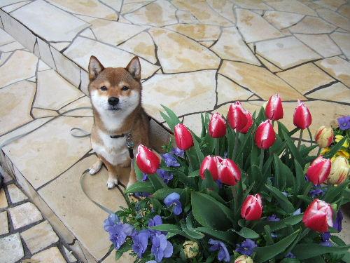 チューリップが咲きました♪