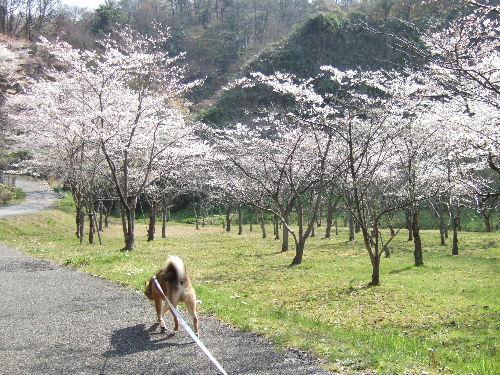 桜とオチリ