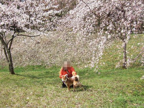薄ピンクのしだれ桜