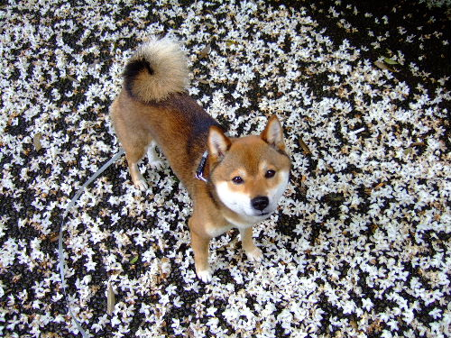 えごの花のじゅうたん