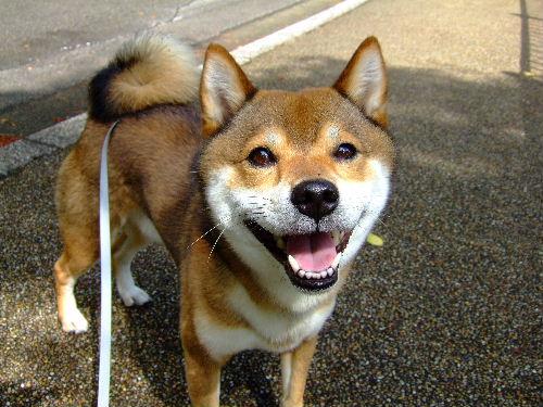 日本犬で~す