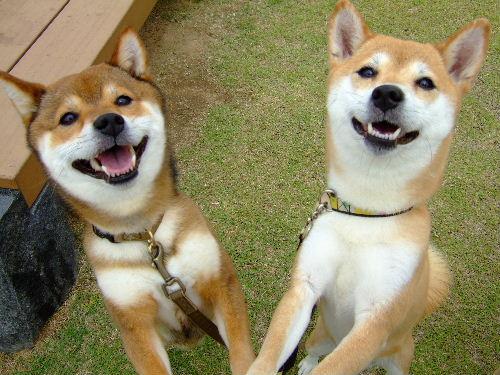 双子の柴犬めろんといちご