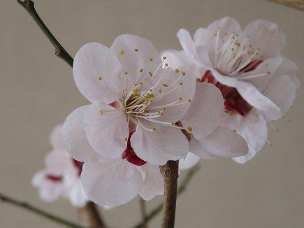 梅が咲いたdownsize