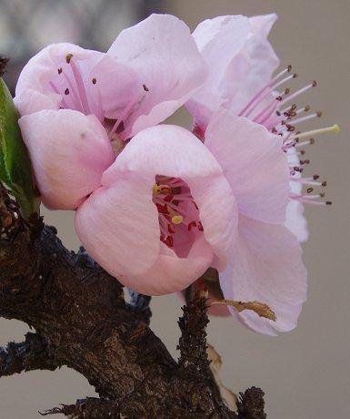 桃の花ほころぶREVdownsize