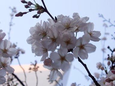 風に揺れる夕暮れの桜downsize