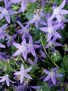 咲き乱れる紫の花downsize