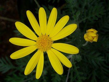 黄色いキク科の花downsize