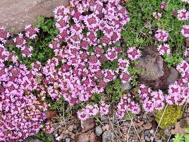 地衣類にまじって咲く小さなかわいい花downsize