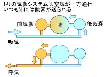 トリの気嚢システム