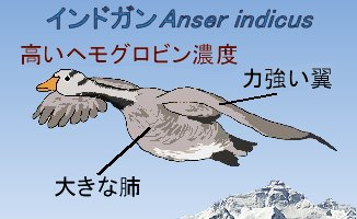 インドガンの飛翔の秘密
