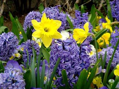 初春のヒアシンスPlanchette downsize