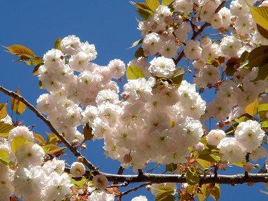 満開の八重桜Defence downsize