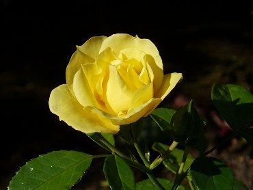 射し始めた陽に煌めくバラの黄色が鮮やかREVdownsize