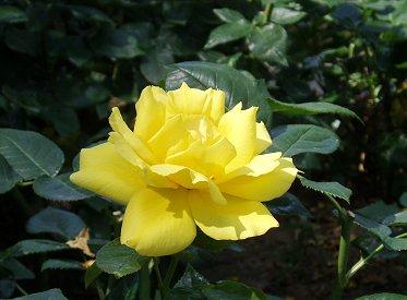花壇を彩る黄色の大輪REVdownsize