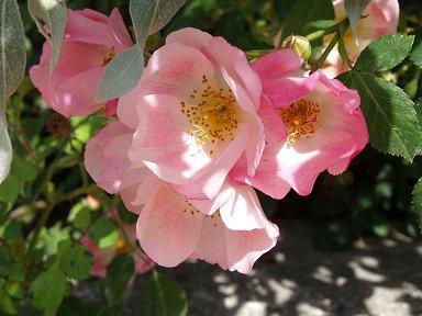 陽射しに透けるバラの花びらdownsize