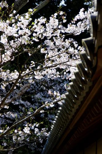 山科毘沙門堂の桜