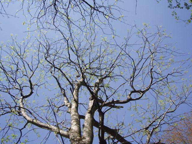 コシアブラの大木